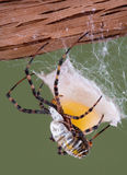 Spider building egg case. A banded argiope spider is building an egg case Royalty Free Stock Photos