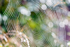 Spider Building Web Royalty Free Stock Images