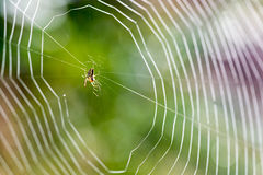 Spider Building Web Stock Photography