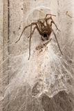 Spider building web. A closeup view of a spider, building a web on old wooden boards stock photo