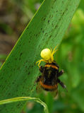Spider and bumblebee. Yellow spider bites its prey Stock Images