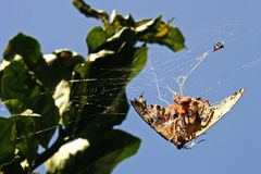Spider on a Butterfly Royalty Free Stock Images