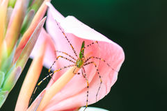 Spider on canna flower close up Royalty Free Stock Photo