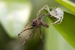 Spider capture another spider. With light green background Royalty Free Stock Photography