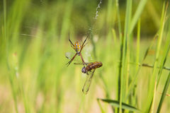 Spider with captured prey Royalty Free Stock Images