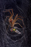 Spider capturing fly Royalty Free Stock Photos