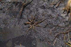 Spider. Carolina wolf spider in florida Stock Images
