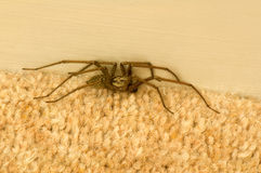 Spider on carpet Royalty Free Stock Photography