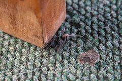 Spider on the carpet near the table legs stock images
