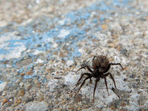 Spider carrying babies Royalty Free Stock Photo