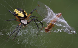 Spider catches dragonfly Royalty Free Stock Photography