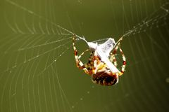 Spider catching fly in web. Large forest spider is binding up small fly in his web Royalty Free Stock Photo