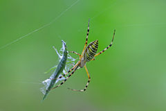 Spider catching the locust Royalty Free Stock Image