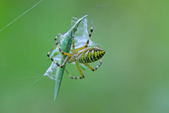 Spider catching the locust Stock Image