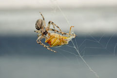 The spider caught a bug in a web Stock Image