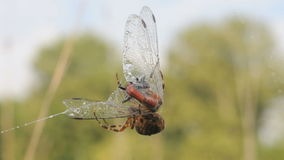 Spider caught dragonflies Stock Image