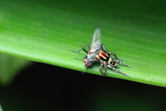 Spider caught fly Stock Images