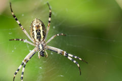 Spider caught the fly and eats her alive. Royalty Free Stock Images