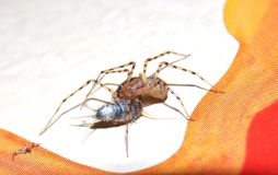 The spider caught a prey Royalty Free Stock Photos