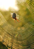 Spider in center of web. Macro spider in center of web with greenery and sunlight background Stock Images