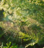 Spider in center of web. Spider in centre of web with green leafy background Royalty Free Stock Image