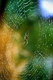 wet spider web Royalty Free Stock Image
