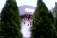 Spider web. Spider in the center of the web Royalty Free Stock Photography