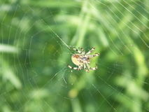 Spider in the centre of cobwebs. Spider in the centre of the damaged cobwebs waiting patiently for victim Stock Photo