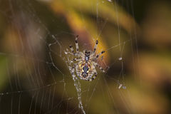 Spider checks if something fell into his net. Spider, checks if something fell into his net Royalty Free Stock Photos