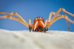 Spider (Cheiracanthium punctorium). Cheiracanthium punctorium male spider, sitting on a rock, with deep blue sky in background Royalty Free Stock Photo