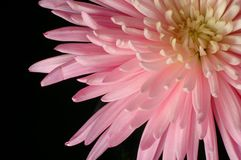Spider Chrysanthemum Royalty Free Stock Images