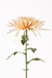 Spider chrysanthemum close up Stock Photos