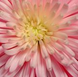 Spider Chrysanthemum Macro. Pink Spider Chrysanthemum Macro with large amount of detail Royalty Free Stock Photography