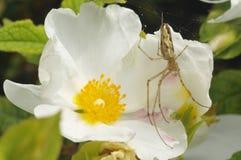Spider on Cistus flower Stock Images