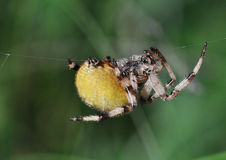 Spider climbing Stock Photo