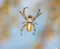 Spider close-up Royalty Free Stock Photography
