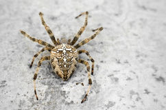 Spider close up. On a concrete background Royalty Free Stock Images