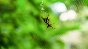 Spider close up in Honduras. Royalty Free Stock Image