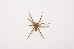 Spider. A close-up intimadating spider isolated on white background Royalty Free Stock Photography