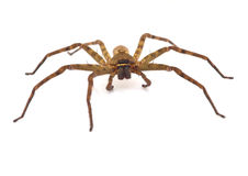 Spider. Close up spider isolated on white background Stock Photos