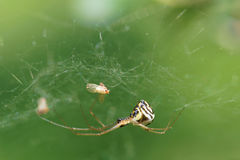 Spider. The close-up of a spider and its prey in web Stock Photos