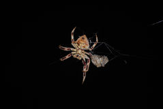 Spider. Close up of a spider at night Royalty Free Stock Image