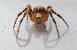 Spider close-up. A small garden spider macro shot Royalty Free Stock Images