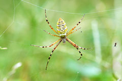 Spider. The close-up of a yellow spider with black stripe Royalty Free Stock Photo