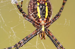 Spider closeup Royalty Free Stock Images