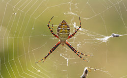 Spider closeup Royalty Free Stock Photo