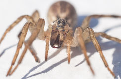 Spider closeup. Front view fangs royalty free stock photos