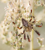Spider closeup Royalty Free Stock Photography