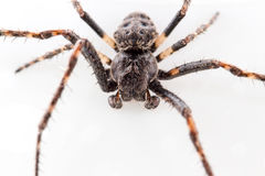 Spider closeup. On white background Stock Image