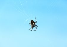Spider on cobweb Royalty Free Stock Image